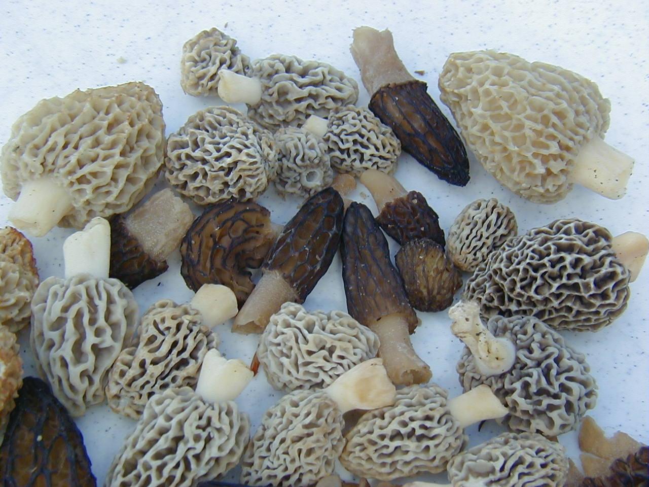 Mushroom hunting Spring and Fall
