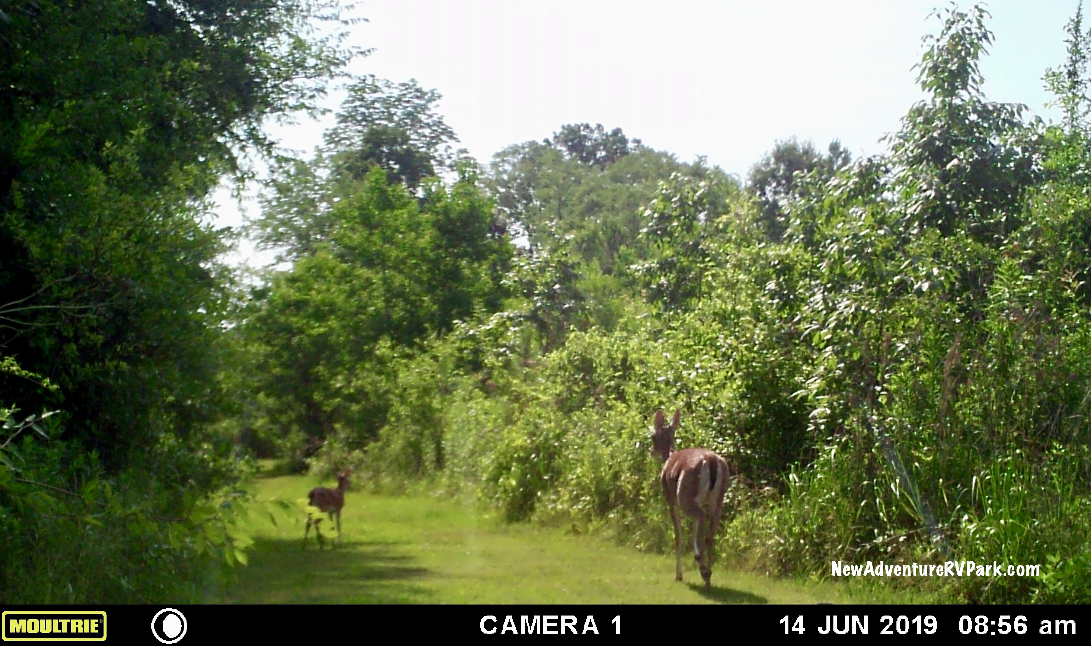 Deer strolling on the rough walking trail at New Adventure.