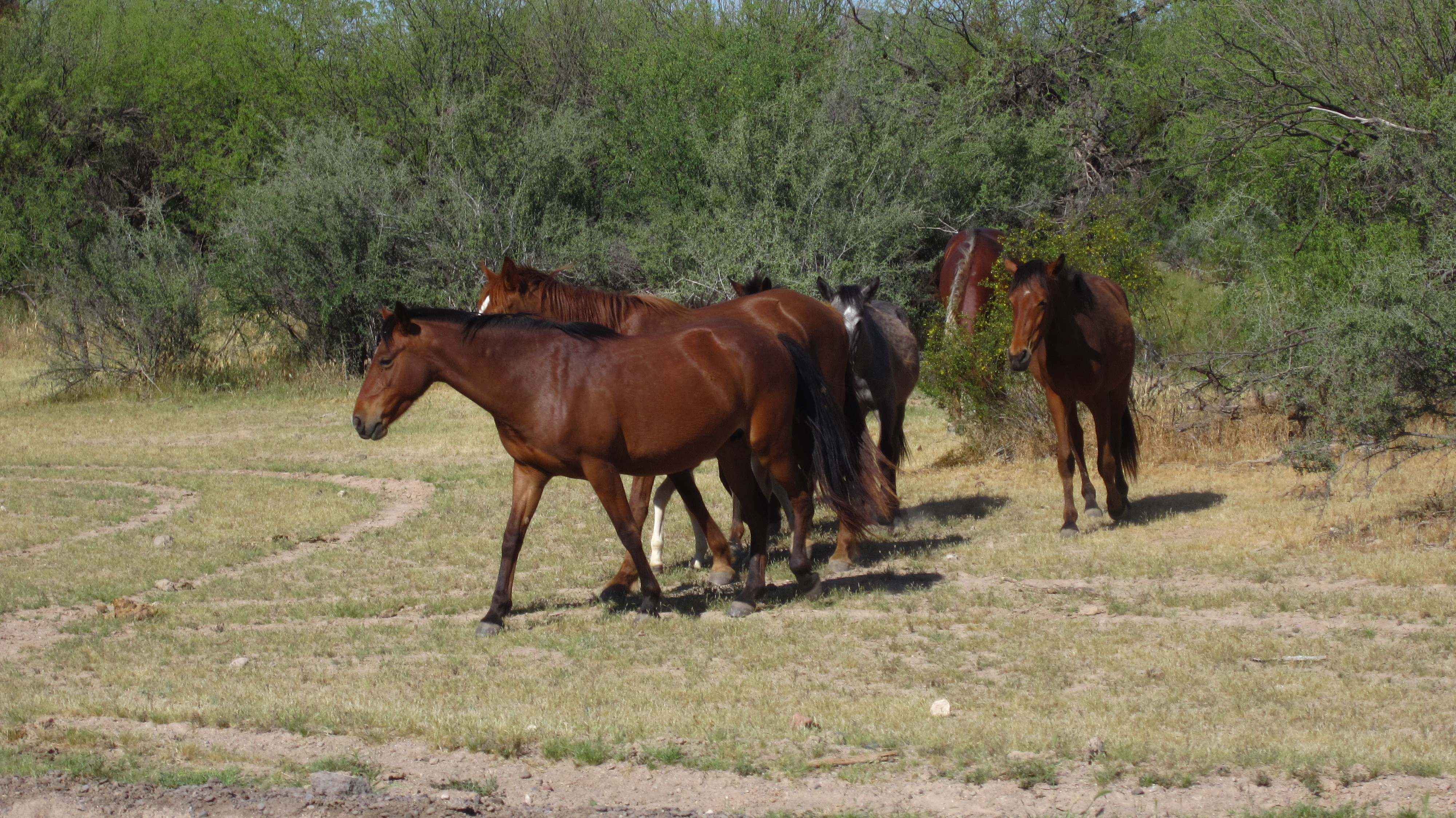 Wild mustangs from the area