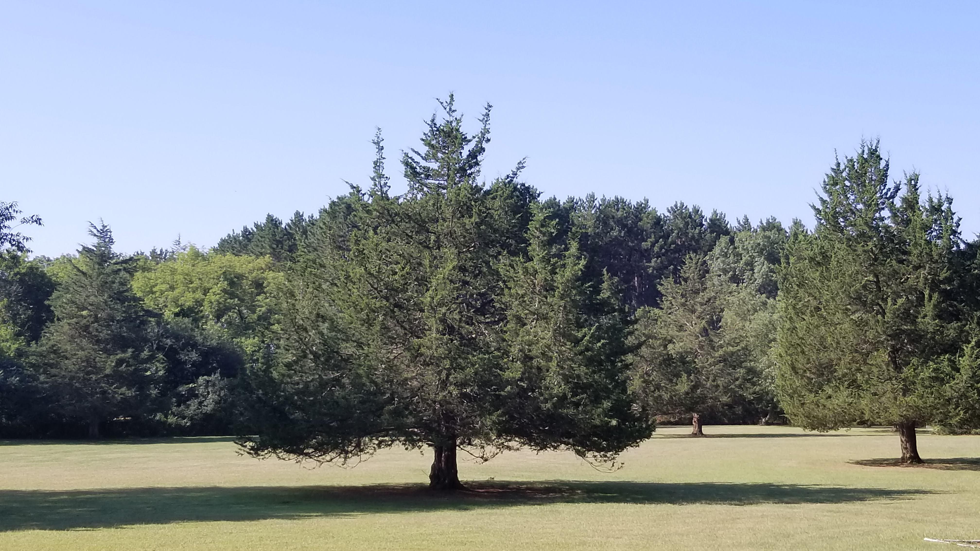 Cedar Trees in Field