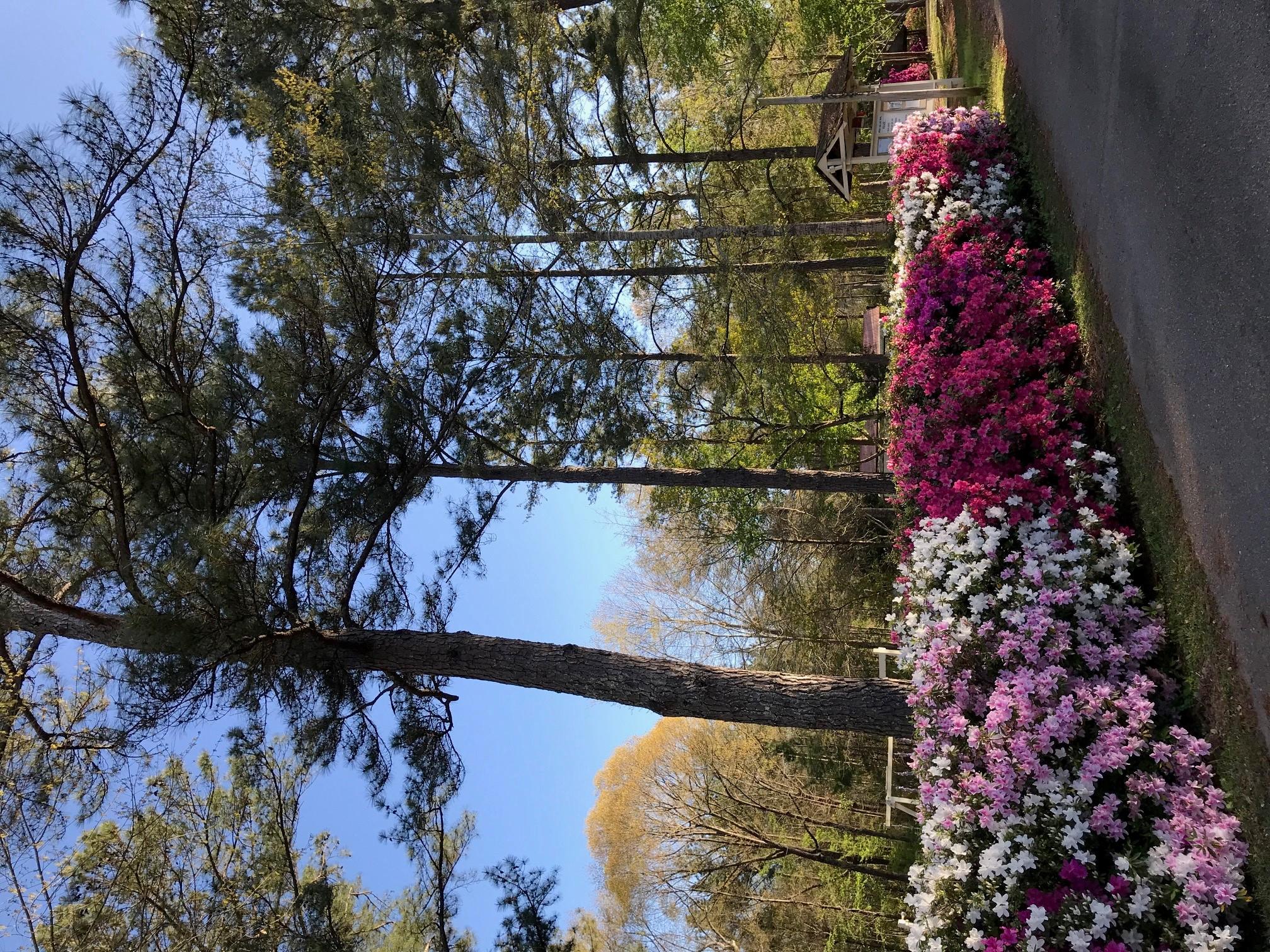 Spring Time Azealeas